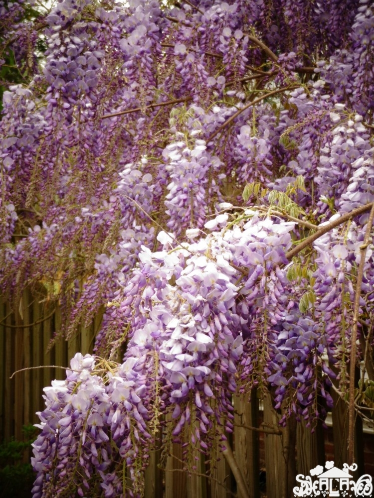 More #wysteria from April in Prettier on Shalavee.com