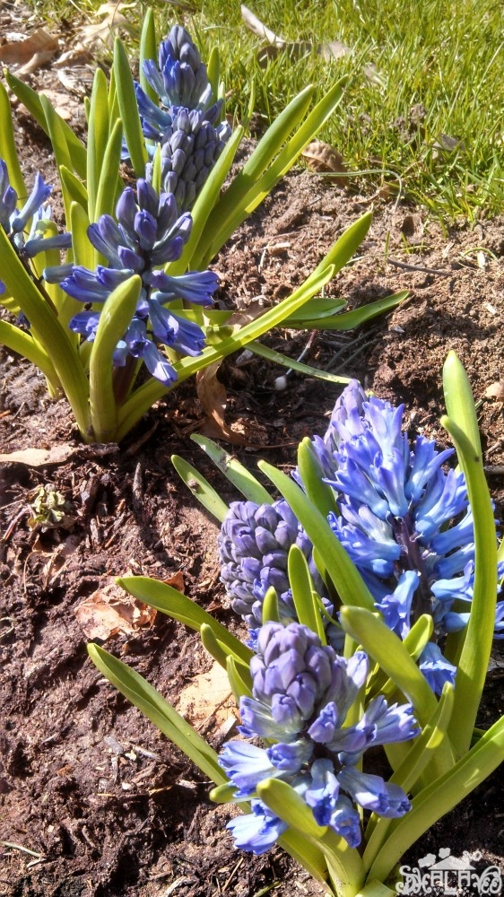 Hyacinths from It's A Spring Thing on Shalavee.com