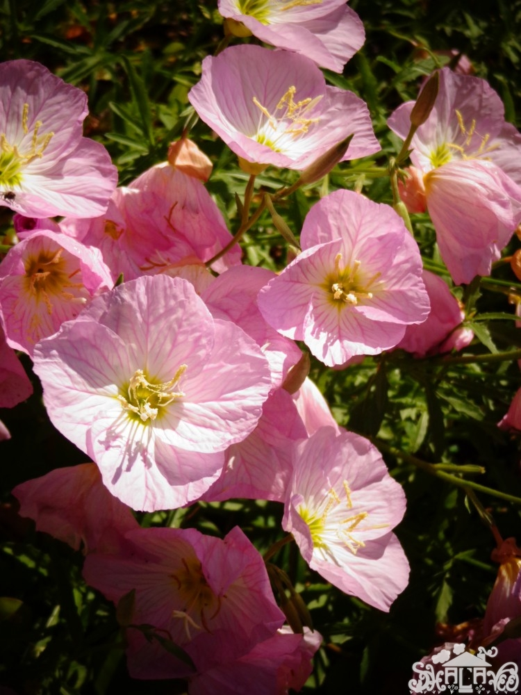 Evening Primrose from May brings Spring Flowers on Shalavee.com