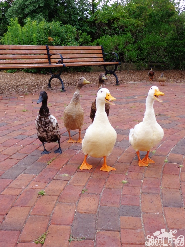 Fiona's new duck friends in #Chestertown,MD from Shalavee.com