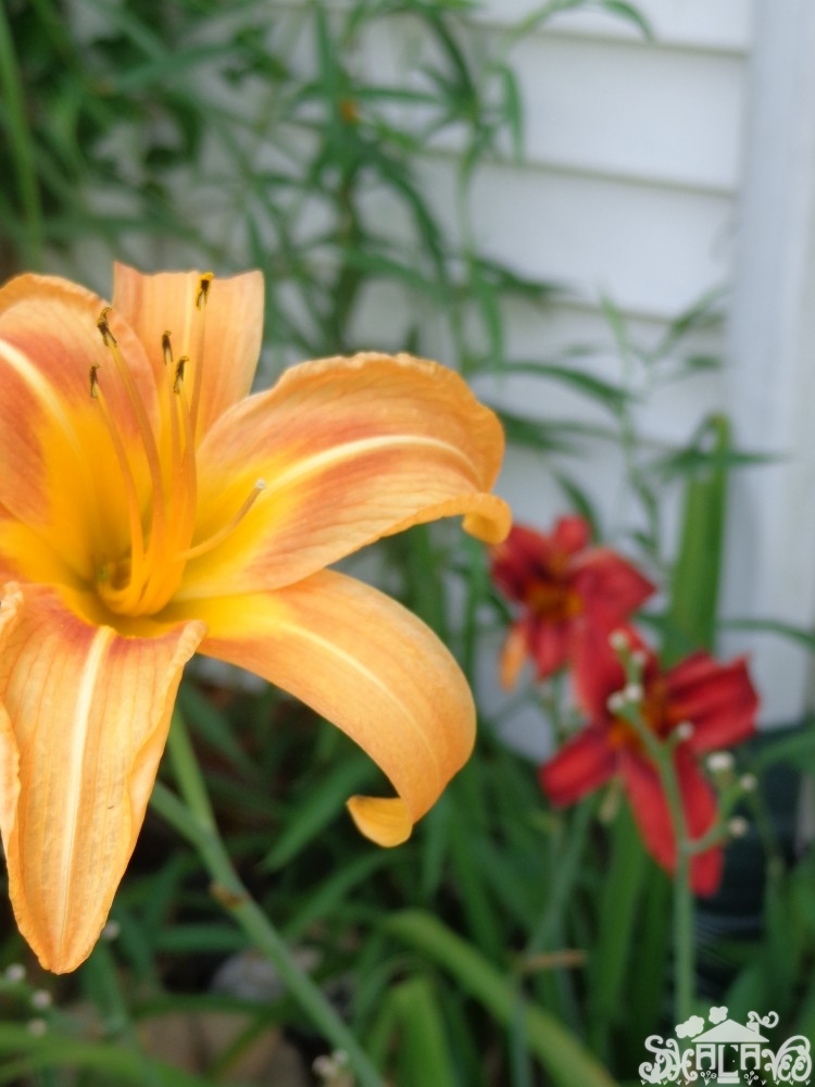 "Daylilies from ""Ould"" words mean I'm conflicted on Shalavee.com"