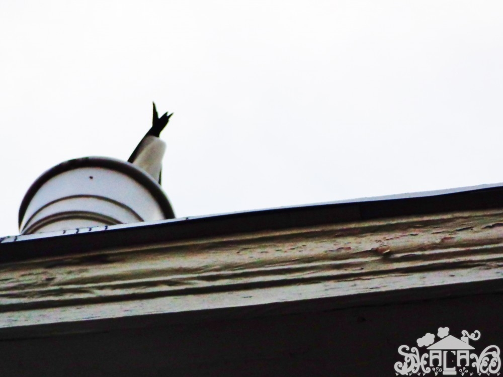 Seagull butt on the roof on shalavee.com